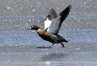 Chestnut breasted shelduck1038.jpg