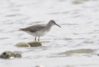 Grey Tailed Tattler933 copy.jpg