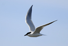Gull billed tern056 .jpg