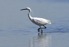 Little Egret1.jpg