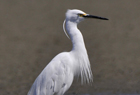 Little Egret2.jpg