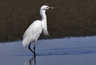 Little Egret3.jpg