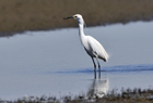 Little Egret4.jpg