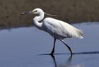 Little Egret5.jpg