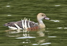 Plumed whistling duck1040.jpg