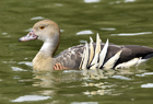 Plumed whistling duck1041.jpg