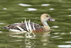 Plumed whistling duck1042.jpg