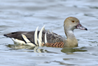 Plumed whistling duck1043.jpg