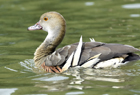 Plumed whistling duck1044.jpg
