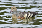 Plumed whistling duck1045.jpg