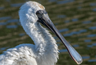 Royal Spoonbill1176 copy.jpg