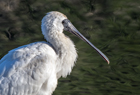 Royal Spoonbill1179 copy.jpg