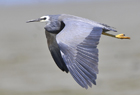 White faced heron580.jpg