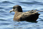 White-chinned petrel274 copy.jpg