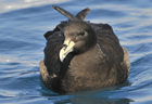 White-chinned petrel275 copy.jpg