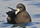 White-chinned petrel276 copy.jpg