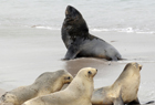 102011 New Zealand Sea Lion Phocarctos hookeri.jpg