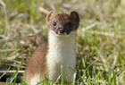 Stoat102075 copy.jpg